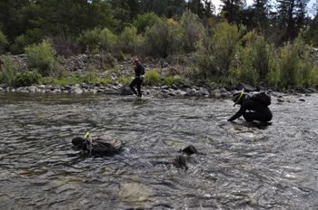 Annual spring Chinook dive in the Salmon River