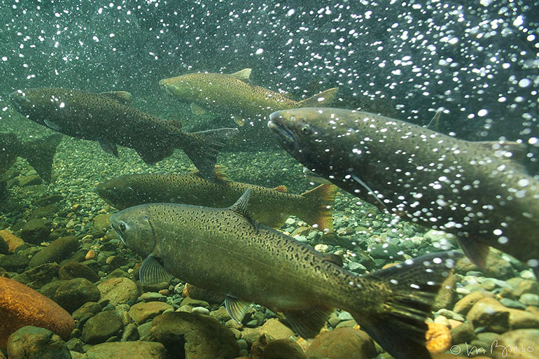 Spring Chinook in the Salmon River, California. Photo by Michael Bravo.